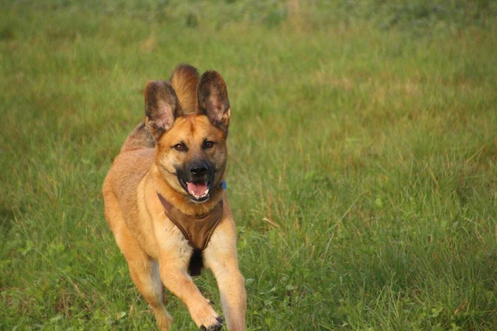 rennende herdershond gras landschap