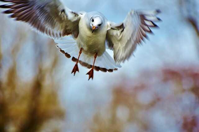 meeuw aanval vliegen drone prooi