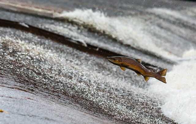 zalm spingen water vissen met drone